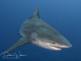 Bully, bull shark, Jupiter, FL