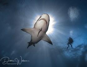 Sunny Lemon, lemon shark, Jupiter, FL