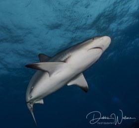 Reefie in the Blue, reef shark, Bahamas