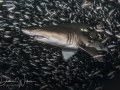 Out of the Crowd, sand tiger shark, North Carolina