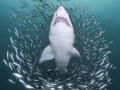 Out of the Vortex, sand tiger shark, North Carolina