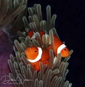 Clownfish, Palau