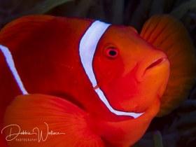 Male spinecheek clownfish, Lembeh, Indonesia