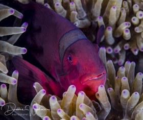 Female spinecheek clownfish, Lembeh, Indonesia