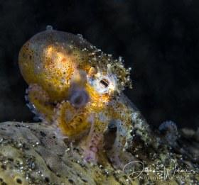 Juvenile coconut octopus, Lembeh, Indonesia