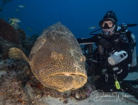 Beauty and the Beast, goliath grouper and diver, Jupiter, FL