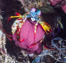 Peacock mantis shrimp with eggs, Lembeh, Indonesia