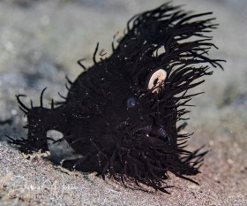Black hairy frogfish, Lembeh, Indonesia