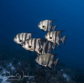 Spadefish, Bahamas