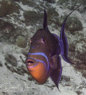 Queen triggerfish, Bahamas