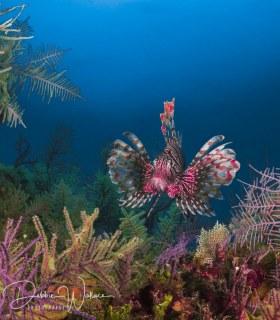 Technicolor lionfish, Bahamas