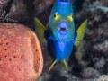 Queen angelfish, Bahamas