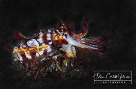Cuttlefish, Indonesia