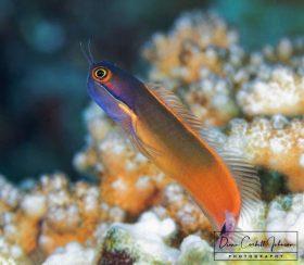 Dart Fish, Indonesia