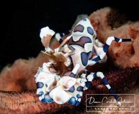 Harlequin Shrimp, Indonesia