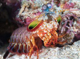 Mantis, Raja Ampat, Indonesia