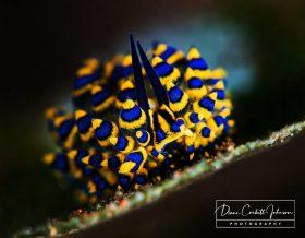 Nudibranch, Bali, Tulamben