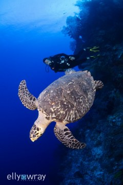 Turtle & Diver. © Elly Wray, All Rights Reserved.