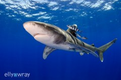 Whitetip Shark. © Elly Wray, All Rights Reserved.