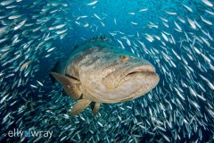 Goliath Grouper. © Elly Wray, All Rights Reserved.