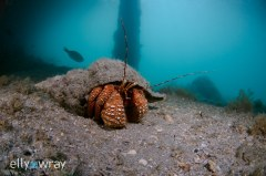 Hermit Crab. © Elly Wray, All Rights Reserved.