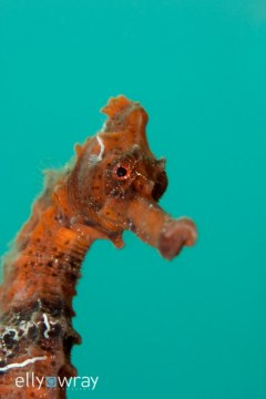 Seahorse. © Elly Wray, All Rights Reserved.