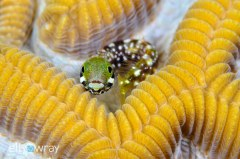 Secretary Blenny. © Elly Wray, All Rights Reserved.