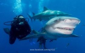 """Lemon Shark """"Snooty"""""""