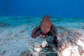 Common Octopus, Blue Heron Bridge