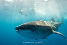 Whale Shark (Rhincodon typus), Isla Mujeres