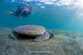 Green Turtle (Chelonia mydas), Turtle Town