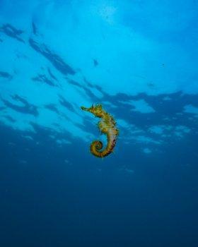 Free swimming Seahorse