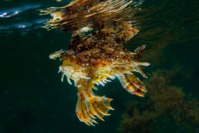 Sargassum Frogfish that washed into me on the beach and had Michelle run home and grab my camera while I followed him.