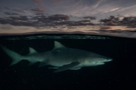 Lemon Shark at Sunset. Riviera Beach