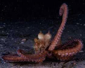 Common Octopus mimicking frogfish. BHB