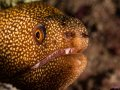 Goldentail Moray in Lauderdale by the Sea