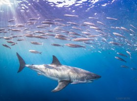 Under The Rainbow , Great White Shark