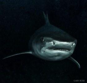 Heavy Metal, Tiger Shark