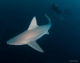 Out Of The Darkness, Sandbar Shark