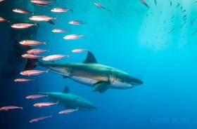 Primal Beauty From The Shadow, Great White Shark