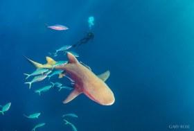 Fly With Me (2), Lemon Shark
