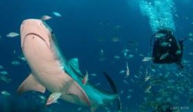 Two Predators Chilling, Tiger Shark