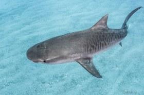 Hiding In The Sand Ripples, Tiger Shark