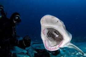Open Wide (2), Lemon Shark