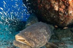 A Supermodel, Goliath Grouper