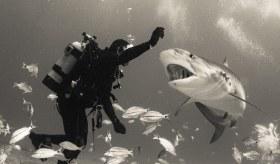 Diver And Tiger, Tiger Shark