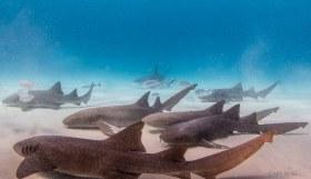 Shark Invasion, Nurse Sharks
