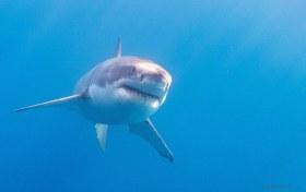 The Apex Predator, Great White Shark