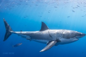 Identifying Portrait, Great White Shark