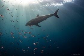 Evening Sunrays, Great White Shark